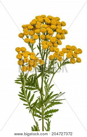 Flowers the medicinal plant of tansy, lat. Tanacetum vulgare, isolated on white background
