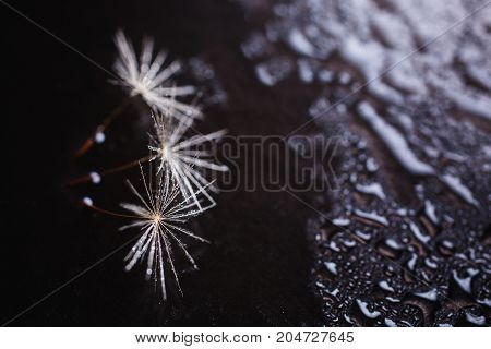Abstract macro photo of a dandelion with water drops on a black background. Rain drops. A drop of water on a black background. Drop on the table. A transparent drop