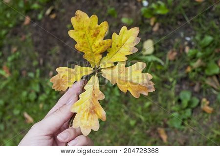 Oak yellow leaves in hand. Autumn walking in park with branch in hand