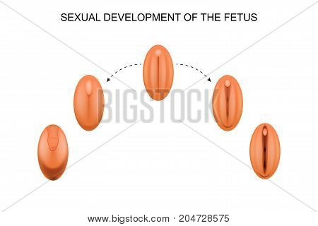vector illustration of sexual development of the fetus