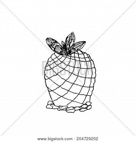 Hand Drawn Pelecyphora Pseudopectinata, Liner Vector Illustration On White