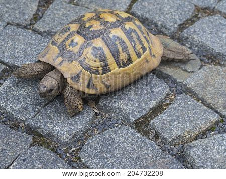 close up big yellow brown turtle on city pavement with gray cobblestone background