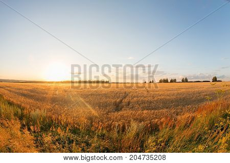 Gold wheat field and blue sky. Ripe grain harvest time. Summer sunset