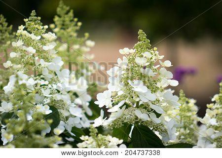 Beautiful garden of blooming Panicled Hydrangea native of China, Korea, Japan and Russia.