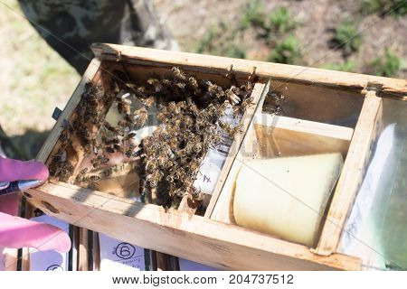 Beekeeper Holding A Small Nucleus With A Young Queen Bee. Breeding Of Queen Bees. Beeholes With Hone
