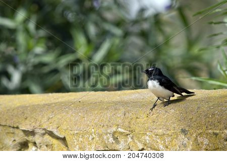 the willy wagtail is resting on a brick wall