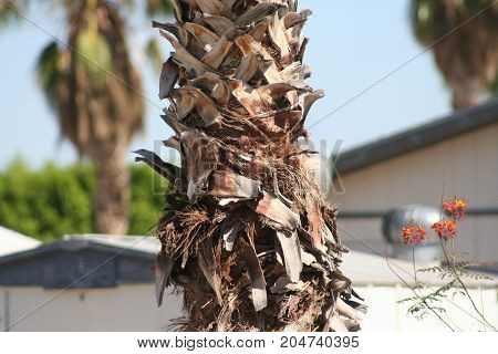 Cool Fan palm tree with untrimmed trunk up close.