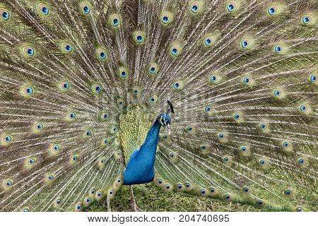 the male peacock is displaying all his tail featers trying to attract a mate