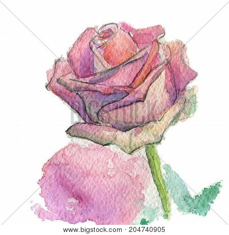 Hand Painted Watercolor Flower, pink ros, isolated on white background work path