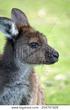 this is a close up of a kangaroo-Island kangaroo