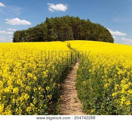 Field of rapeseed canola or colza in Latin Brassica napus with rural road rapeseed is plant for green energy and green industry springtime golden flowering field