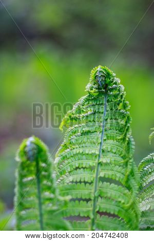 Fresh Fern Leaves close up. ferns opening in Springtime