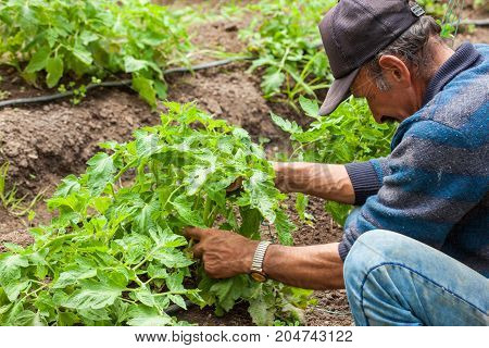 Man Working At Tomato ( Lycopersicon Esculentum) Cultivation Field