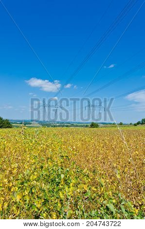 Plant of soybeans in sunlit under blue sky
