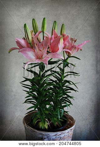 Isolated Asiatic Lily in Pot Still Life