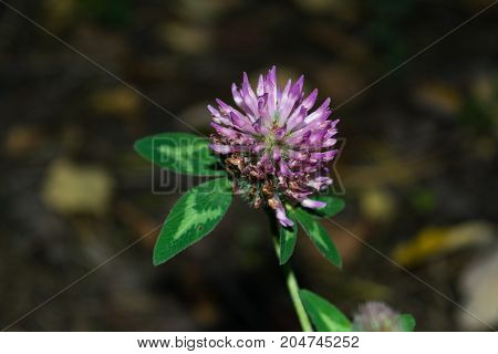 Beautiful Clover Flower