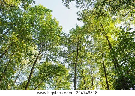 The tops of the spring trees are illuminated by the light of the sun. Spring background. Spring tree. Spring landscape. Spring leaves. Spring Forest.