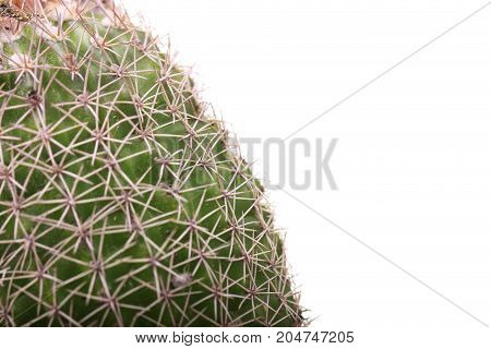 Round cactus with needles. Cactus isolated on white background