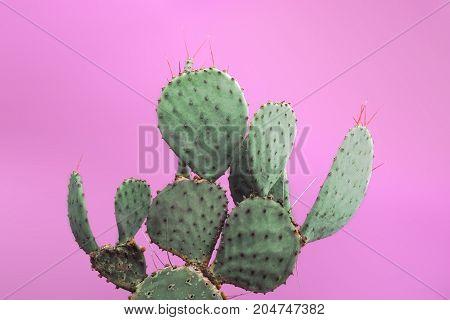 Closeup green cactus with needles pattern on pink background. Decorative cactus. Big beautiful cactus with needles in a pot. Photo of cactus.