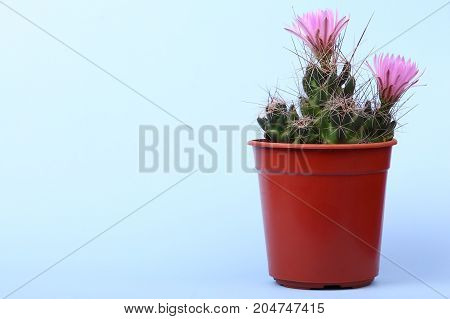 Lovely plant indoor. Cactus flower. Cactus in a plastic penny. Beautiful cactus pink red flowers bloom on neon background. A small prickly cactus in a red pot.