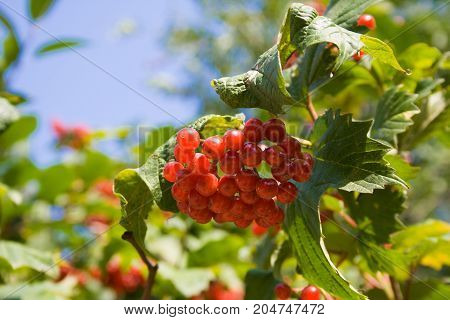 A Bunch Of Red Viburnum