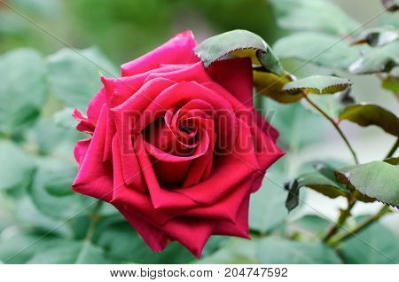 Red rose flower blossom in a garden,popular flowers in Valentine day
