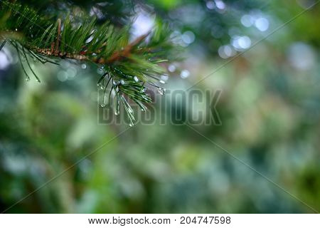 Spruce branch with drops of dew, close up background