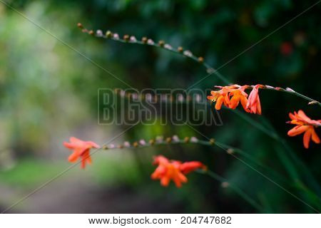 Orange flowers on dark blurred background in thr garden