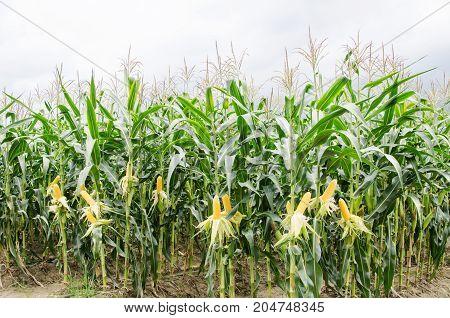 Ripe corn cob in corn field ready to harvest