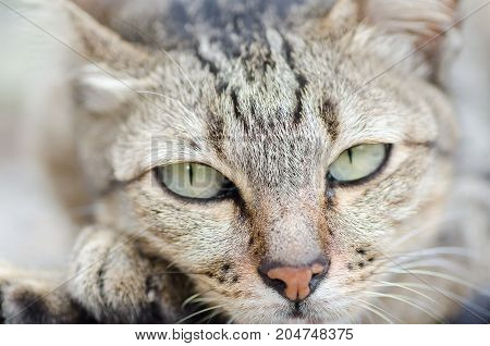 Close up of cat face looking the camera, cute animal and pet