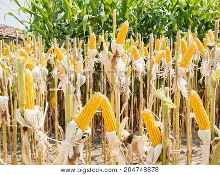 Ear of sweet corn in corn field ready for harvest
