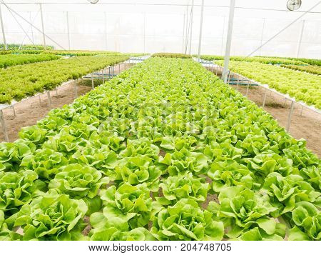 Vegetables hydroponics system in greenhouse, butter head salad garden