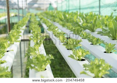 cultivation hydroponics green vegetable in farm, healthy food