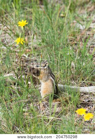 Chipmunk sitting upright with bison fur in its mouth. He is sitting among grass and flowers.