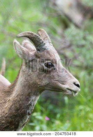 Close up of a female bighorn sheep eating grass. Her head and neck is photographed in profile.