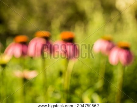 Purple Coneflowers Abstract: blurred, defocused image good for background