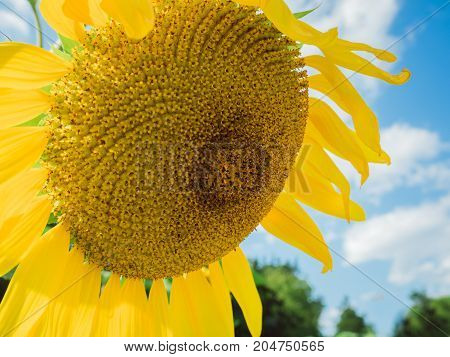 Closeup of backlit, bright, yellow sunflower with head bent slightly