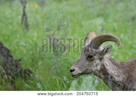 Close up of the head and neck of a female bighorn sheep facing left.