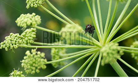 Curiosity Concept: Black Fly Sitting On A Meadow Plant And Looking Into The Camera, Blurred Backgrou