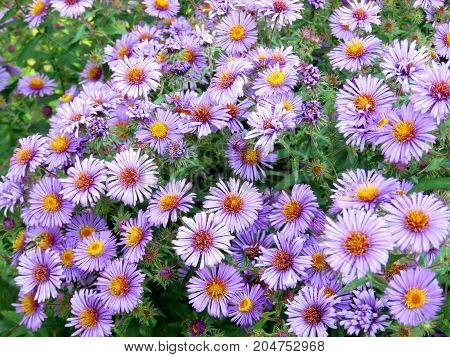 Purple daisies in Thornhill Canada September