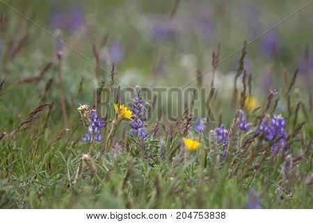 Spring wildflowers with purple lupine and thick grass photographed at eye level. Photographed in natural light with a shallow depth of field.
