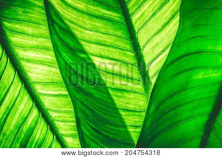 Close up of natural green leaves background tropical foliage texture.