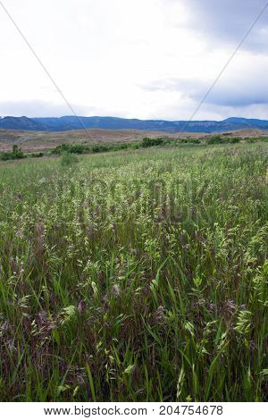 Lush grass with green and lavender seed heads at eye level with foothills and mountains of Yellowstone National Park in the background.