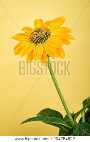 Yellow coneflower (Echinacea) against yellow background with copy space