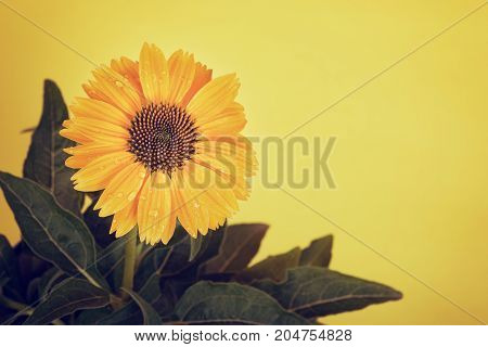 Yellow coneflower (Echinacea) water droplets on petals against yellow background with copy space.