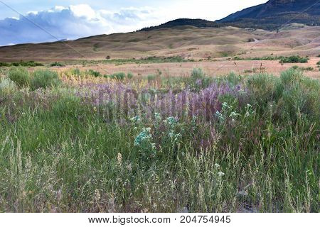A prairie with different varieties of wildflowers in the foreground and foothills with dried grass in the background. Cumulus clouds are above. Photographed in natural light in Yellowstone National Park.