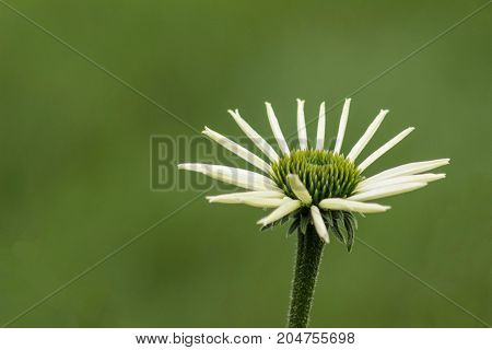 Close-up of a blooming Pale Echinacea with green background