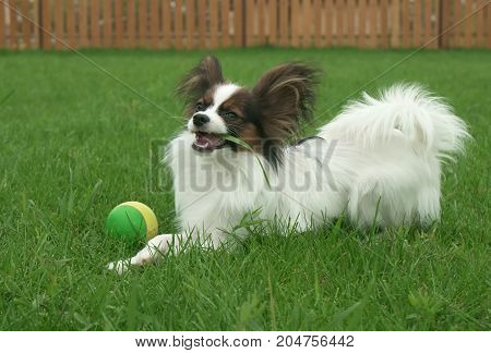 Beautiful young male dog Continental Toy Spaniel Papillon eats grass on a green lawn