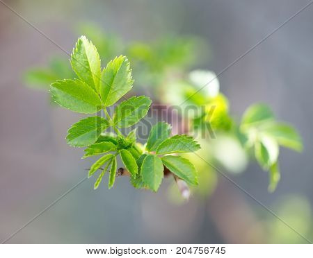 leaves from the buds on the branch