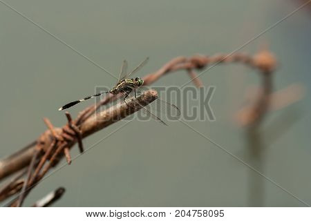 Green dragonfly on barbed wire - stock image